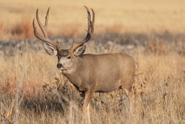 2B7EFEW Mule Deer Buck During the fall Rut in Colorado